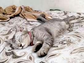 Kucing Anggora Hamil Kawin dengan persia Gembul