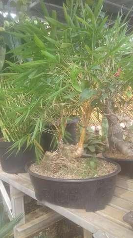 Jual pohon bambu kuning mini ampel