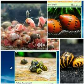 Red Ramsorm snail  for sale 5 pc for Rs100
