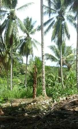 Tanah 100h di Likupang dekat tambang MMS