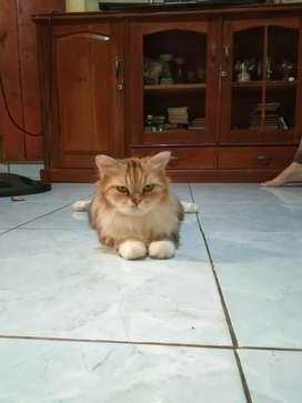 Kucing persia + 2 anaknya mix kampung