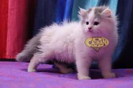 Persian kitten superb quality available