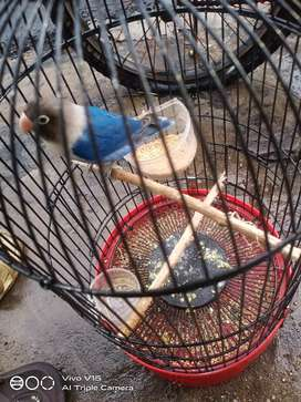 Lovebird biru mangsi cari barter jantan