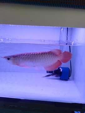 Ikan Arwana Arowana Super Red ukuran 30cm Merah Merona