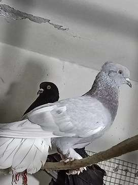 Fantail pigeon male