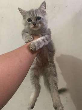kucing persia jantan umur 3 bulan