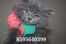 Super Loving Persian Kittens and Cats are Available