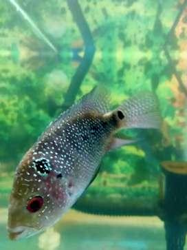 Ikan louhan tipe srd betina