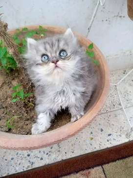 Pure Percian furr ball light grey kitten available for sale
