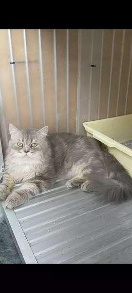 Lepas adopsi kucing persia jantan usia 11 bln sdh vaksin