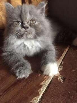 Anak kucing persia flatnose betina