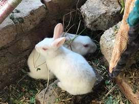 Breeder rabbits red eye are on discount rate