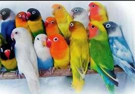 Agen burung Lovebird murah