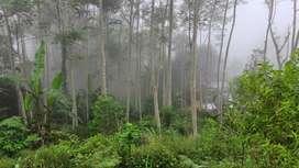 Pooh Sengon 750 pohon