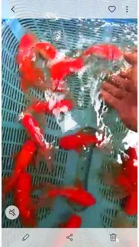 Indukan ikan koki oranda...edisi hbisin stock borongan murah