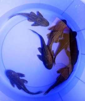 Ikan Sapu-Sapu Pembersih Lumut Aquarium Dan Kolam Ukuran 20-25cm