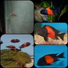 Ikan tropheus bemba untuk aquarium