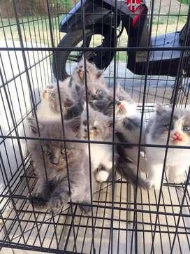 Kucing Persia Umur 2 Bulan
