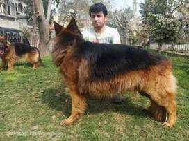 Long coat pedigree male for sale locations Lahore
