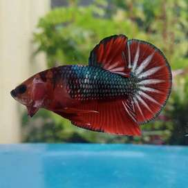 Ikan cupang FCCP