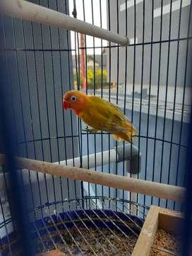 Labet lovebird paskun bety dewasa