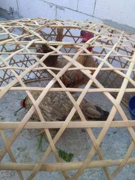 Ayam kate 1jodo nuju ngendog