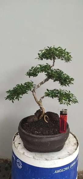 Bonsai Serbin unik