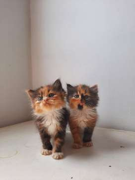 Kucing persia kitten flatnose