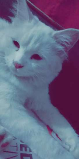 It is one year old female Persian cat