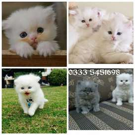 Fluffy PeRsian kids available