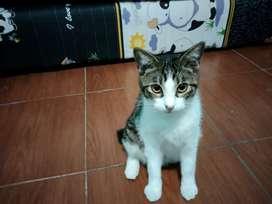 Kucing keturunan persia