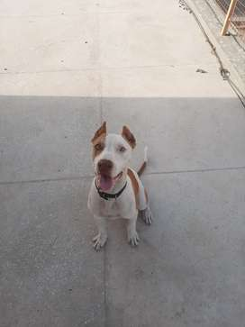 Pitbull male 5 months old