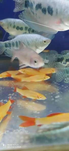 Ikan redfin albino gede buat bersih2 Akuarium