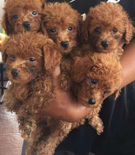 Puppy red toy poodle
