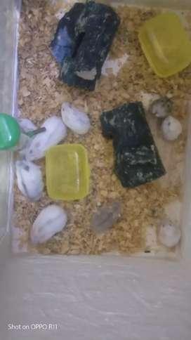Hamster winter usia 1-2 bulan