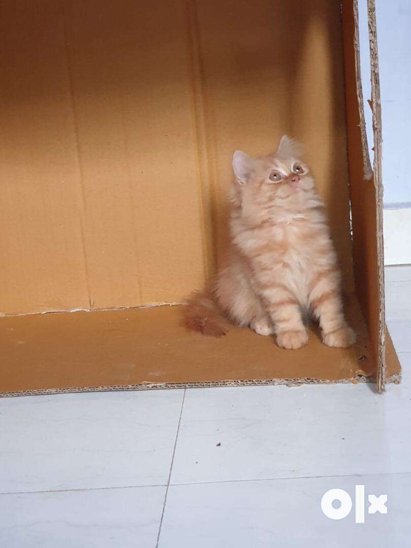 Top quality persian kitten Cat for sale at best price 0