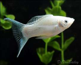 Silver fish - very active and lucky @ 50₹ only aquarium fish