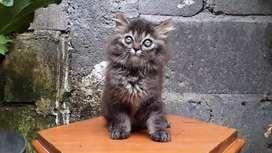 kucing persia medium jantan blacktabby lucu