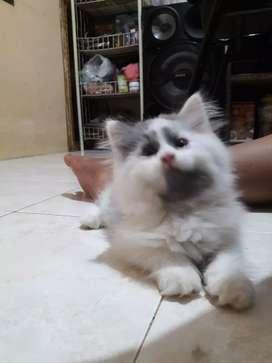 Di Jual Anakan kucing persia