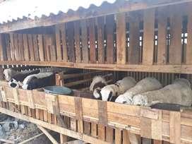 Jual kambing garut murah meriah