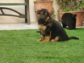 German Shepherd pedigree