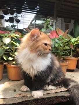 anakan kucing persia betina belang tiga 3 bulan
