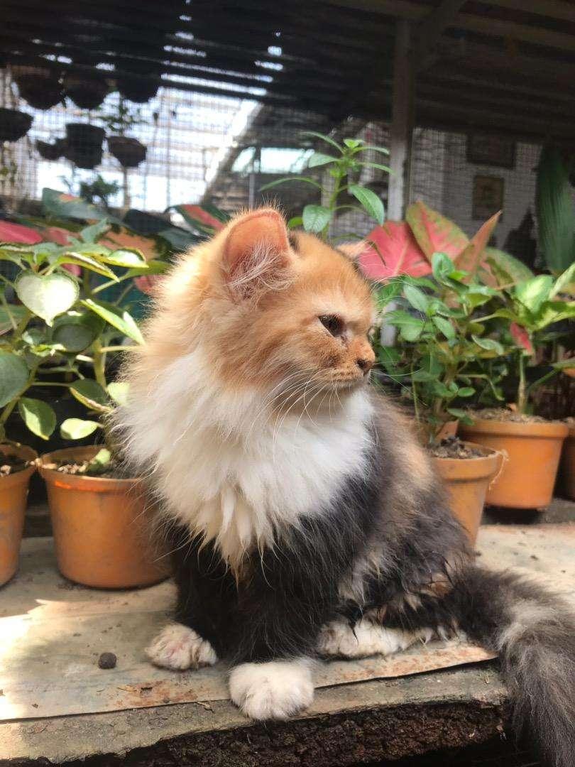 anakan kucing persia betina belang tiga 3 bulan 0