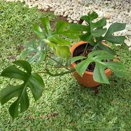 Tanaman Hias Raphidopora Tetrasperma sedang rimbun & Pot Terakota X1