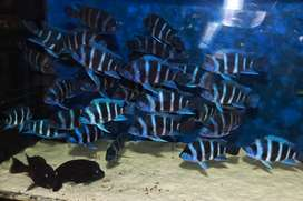 Frontosa Zaire Blue Moba Cichlid