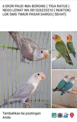 6 ekor lovebird borong 300 ribu