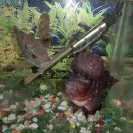 Flowerhorn Fish male and female for sale