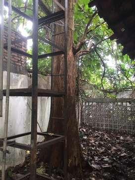 Pohon Jati Besar Hidup