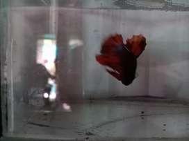 Dijual Ikan cupang Nemo Male