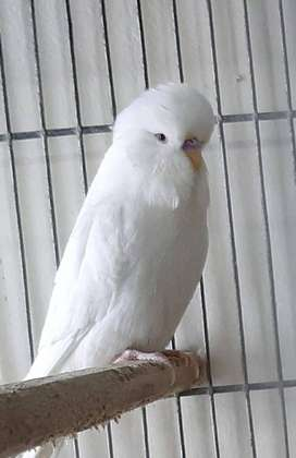 Good Quality - Exhibition Albino (Red Eyes)